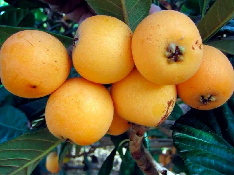 seguro de níspero Vélez-Málaga y Axarquía frutas tropicales